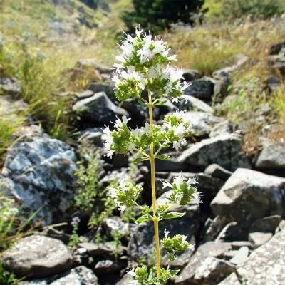 origanum-vulgare